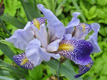Blue leopard iris Stock Photo