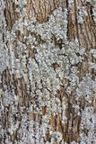 Blue lichen grow on  oak Stock Images