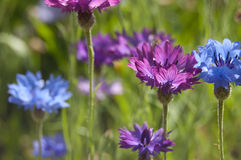 Blue and lilac cornflowers Royalty Free Stock Image