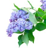 Lilac flowers. Blue Lilac fresh flowers isolated on white background Royalty Free Stock Photo