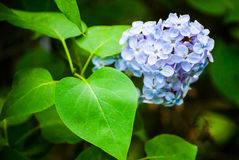 Blue lilac in green leaves. Outdoors, macro Royalty Free Stock Photo