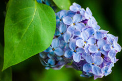 Blue lilac in green leaves Stock Photo