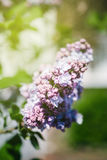 Blue lilac - Syringa Vulgaris in green park Stock Photos