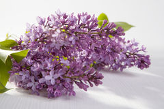 The Blue lilac on a wooden white table Royalty Free Stock Image