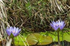 Blue lilies close-up. Masai Mara, Kenya. royalty free stock images