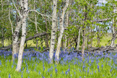 Blue lilies on the forest floor of Aspens Stock Images
