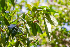 Blue Lilly Pilly fruit tree Stock Photography