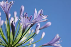 Blue lily. Blue flower, lilly with blue sky Royalty Free Stock Photography