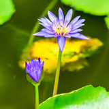 Blue lily against the water and green leaves, closeup Stock Photos