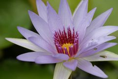 Blue Lily Close. Blue Waterlily Close Stock Photos