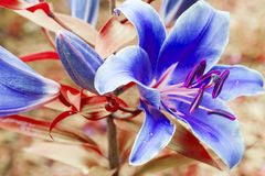 blue lily garden on a sunny day in the garden Royalty Free Stock Image