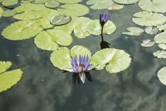 A blue lily and a green leaf in a pond. Water lily, water lily. Flowers nature Flowers on the water. flowers nature. green leaves, background Royalty Free Stock Photography