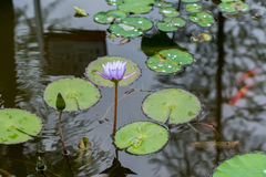 Blue lily and its reflection in water Stock Images