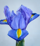 The Blue Lily Stock Photo