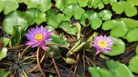 Blue lily pond nice sunshine scene stock image