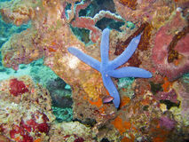 Blue Linckia sea star Royalty Free Stock Photography