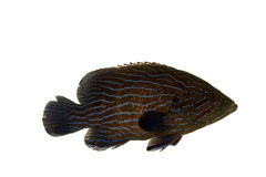 Blue Line Grouper Royalty Free Stock Photo
