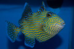Blue line Triggerfish Pseudobalistes fuscus royalty free stock images