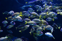 Blue lined snapper Royalty Free Stock Image
