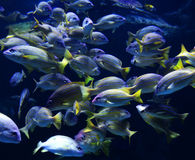 Blue lined snapper Stock Images
