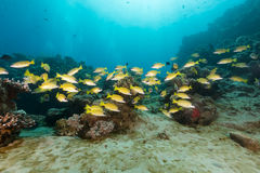 Free Blue-lined Snappers In The Red Sea. Stock Photo - 41473340
