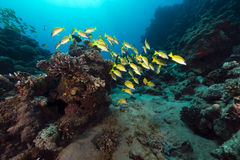 Blue lined snappers in the Red Sea. Royalty Free Stock Photography
