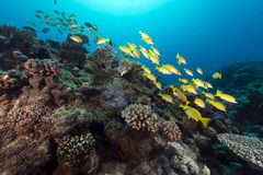 Blue lined snappers in the Red Sea. Stock Image