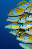 Blue-lined Snappers Royalty Free Stock Image