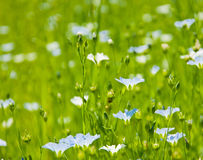 Blue linen flowers background Stock Photo