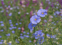 Blue Linum flowers Royalty Free Stock Photos