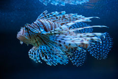The blue lionfish Royalty Free Stock Images