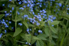 Blue little flowers in summer stock photos