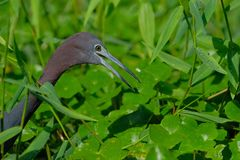 Blue little heron stock image
