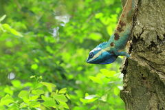 Blue Lizard Royalty Free Stock Photography
