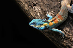 Blue lizard chameleon Royalty Free Stock Photography
