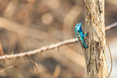 A Blue Lizard perching on the dried tree Royalty Free Stock Images