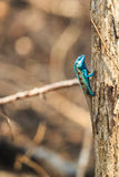 A Blue Lizard perching on the dried tree Stock Photos