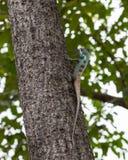 Blue Lizard Stock Photography