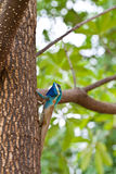Blue lizard on the tree Stock Images