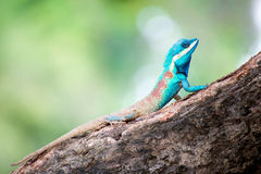 Blue Lizard Royalty Free Stock Images