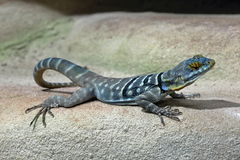 Blue Lizard in the Wood Royalty Free Stock Photos