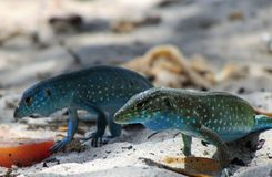 Blue Lizards on the Beach Royalty Free Stock Photography