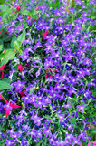 Blue Lobelia royalty free stock photography