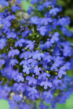 Blue lobelia Royalty Free Stock Image