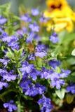 Blue lobelia flower in summer. stock photo