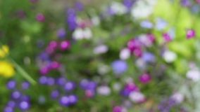Blue lobelia flowers blurry background in the garden, HD footage. Blue lobelia flowers close up in the garden, HD footage stock footage