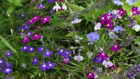 Blue lobelia flowers close up in the garden, HD footage stock video footage