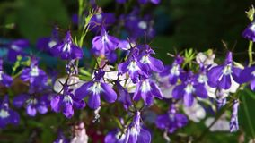 Blue lobelia flowers close up in the garden, HD footage. Beautiful blue lobelia flowers close up in the garden, HD footage stock video