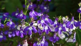 Blue lobelia flowers close up in the garden, HD footage stock video