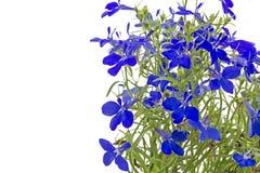 Blue lobelia (Lobelia erinus) Stock Image
